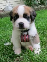 42 best bernard puppies images on bernards