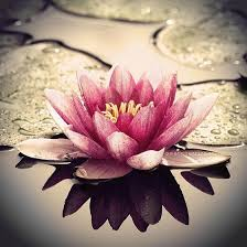 Lotus Flower The flower that blooms in adversity is the most rare