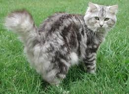 bobtail cat best 25 bobtail cat ideas on american bobtail manx