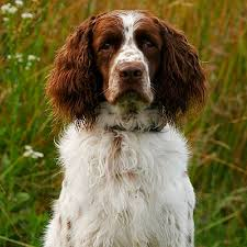 american hunter best all round hunting dog