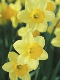 early blooming daffodils hgtv