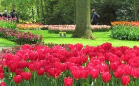 tulips and flower bulbs in the netherlands
