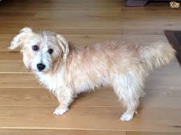Stop Rat Terrier Shedding by Sporting Lucas Terrier Dog Breed Information Buying Advice