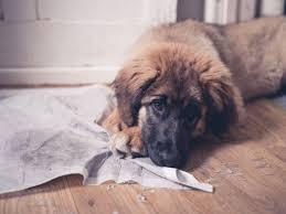 Dog Urine Wood Floors Vinegar by Pet Stains On Hardwood Floors Woodfloordoctor Com