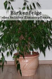 die birkenfeige auch ficus benjamini genannt ist eine sehr
