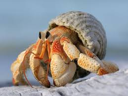Do Hermit Crabs Shed by 40 Best Hermit Crabs Images On Pinterest Hermit Crabs Hermit