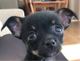 100 Where Is Chihuahua Located Alfie X Located In Hampton Hill London South