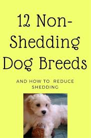 Large Dogs That Dont Shed Fur by Best 25 Non Shedding Cats Ideas On Pinterest Non Shedding Dogs