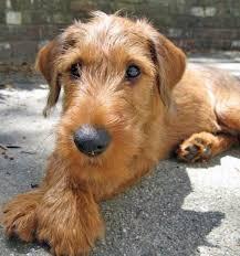 best 25 irish terrier ideas on pinterest terrier breeds