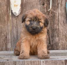 Do Wheaten Terrier Puppies Shed by Soft Coated Wheaten Terrier Puppies For Sale Lancaster Puppies
