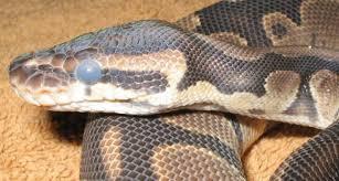 royal python care sheet the royal python co uk royal python