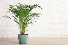 palmen richtig überwintern plantura