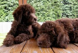 Dogs That Shed The Least by About Labradoodles Aussiedoodle And Labradoodle Puppies Best