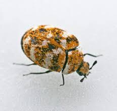 Carpet Weevil Pictures by Carpet Beetle U2022 Weapons Of Pest Destruction