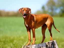 Do Vizsla Dogs Shed by Best Non Shedding Dogs Healthy Paws