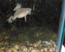 Do Aquatic Dwarf Frogs Shed Their Skin by Robyn U0027s Aquarium Frog Species Page