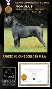 Cane Corso Italiano Shedding by 335 Best Dogs Images On Pinterest Animals Cane Corso And