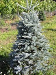 Christmas Tree Sapling Care by Blue Spruce Trees For Sale