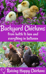 141 Best Backyard Chickens 101 Images On Pinterest   Backyard ... Backyard Chickens 101 The Moms Guide To San Diego Amazoncom Complete Beginners Lauren Diamant Are Hard Workers In Our Bnyard Every Animal We Raise Renew Pinterest Flock Has A Complex Social Hierarchy With Singular Leader Raising For Dummies Modern Farmer Sister Chicks Club House Backyard Home Cluck Central Cedar Falls Iowa Public Radio 2015 Fact Sheet Chicken Egg 141 Best Images On