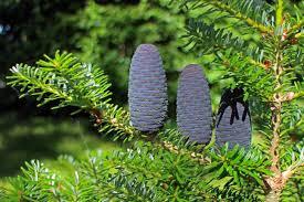 Silvertip Fir Christmas Tree by Free Images Branch Leaf Flower Dark Green Jungle Evergreen