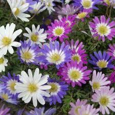 anemone free shipping garden plants flowers garden center