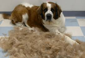 how to stop or minimize excessive shedding in dogs mybusydog