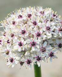 allium silver bulbs buy at farmer gracy uk