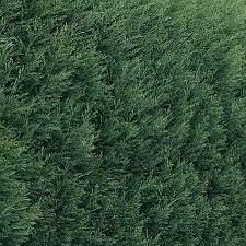 Noble Christmas Trees Vancouver Wa by Leyland Cypress Trees For Sale Free Shipping Over 125