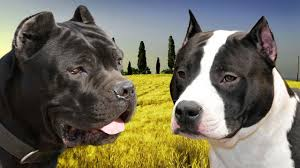 Cane Corso Hair Shedding by Amstafftalk Dogs Got Personality Personality Goes A Long Way