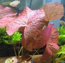 cyperus helferi aquatic freshwater tropical