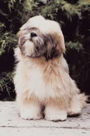 My Lhasa Apso Is Shedding Hair by Lhasa Apso Hairstyles Lhasa Pup And Dog