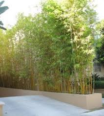 planting bamboo in a pot choosing and controlling bamboo in your garden dave s garden