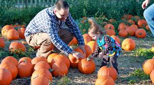 Pumpkin Patch Sacramento 2015 by Best Pumpkin Picking Patches In Ny Nj Connecticut Cbs New York