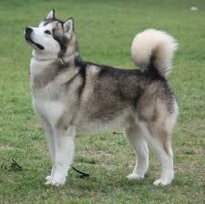 most dangerous dog breeds 4 husky with a total of 15 fatalities
