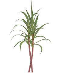 Vector Royalty Free Library Loft Wallpapers Graphic Freeuse Sugar Cane Clipart