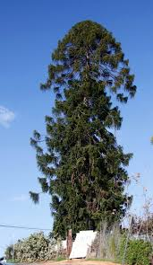 100 Le Pines El Pino The Pine Tree Wikipedia