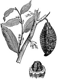 Coffee Plant Clipart Cocoa Bean 4
