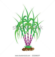 Related For Sugarcane Clipart