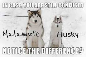 do huskies or malamutes shed more siberian husky breed information idw