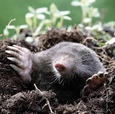 11 Strategies For Do-It-Yourself Pest Control | Mole, Yards And ... How To Get Rid Of Moles Organic Gardening Blog Cat Captures Mole In My Neighbors Backyard Youtube Animal Wikipedia Identify And In The Garden Or Yard Daily Home Renovation Tips Vs The Part 1 Damaging Our Lawn When Are Most Active Dec 2017 Uerstanding Their Behavior Mole Gassing Pests Get Correct Remedy Liftyles Sonic Molechaser Alinum Covers 11250 Sq Ft Model 7900