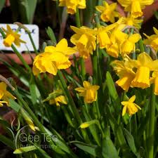 buy narcissus tete a tete bulbs cyclamineus narcissi