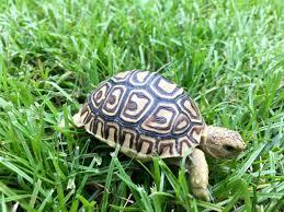 Flukers Turtle Clamp Lamp by Leopard Tortoise For Sale Baby Leopard Tortoises For Sale Leopard