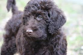 Non Shed Dog Breeds Hypoallergenic by Most Popular Hypoallergenic Dog Breeds Canna Pet