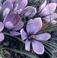 36 best saffron images on 29 march crocus bulbs and