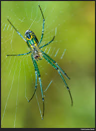 Backyard Spiders! - Admiring Light R2rustys Chatter September 2017 Ladybugs Backyard And Beyond Birdingand Nature Golden Silk Orb Weaver Spider In Bug Eric Sunday Black Yellow Argiope Glass Beetle By Falk Bauer A Backyard Naturalistinsects Ghost Spiders Family Anyphnidae Spidersrule C2c_wiki_silvgarnspider_hrw8q0m1465244105jpg Aurantia Wikipedia Two Views Sonoran Images Elephant Tiger Skin Spiny Blackandyellow Garden Mdc Discover Power Animal For October Shaman Amy Katz