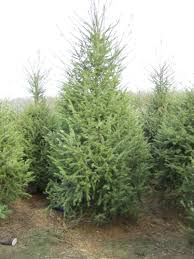 Christmas Trees Types Uk by December 2013 U2013 Page 2 U2013 Preservation In Pink
