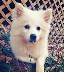 Toy American Eskimo Dog Shedding by 13 Best Dogs American Eskimo Dog Images On Pinterest American