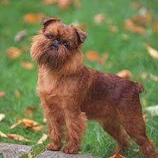 Non Shedding Large Dogs by Low Shedding Dog Breeds Dog Breed Plus