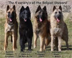 15 best belgian tervuren images on pinterest belgian shepherd