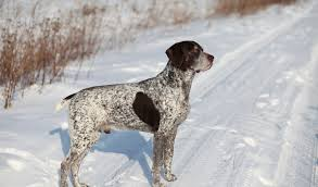 German Shorthaired Pointer Shed Hunter by Purebred Star German Shorthaired Pointer The Smart Living Network